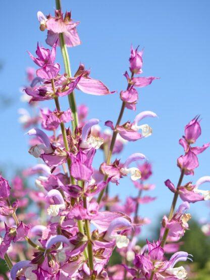 Гідролат шавлії мускатної Salvia sclarea